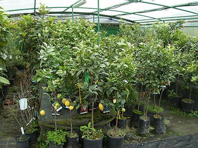 Piante da frutto vivaio del golfo for Vivai piante da frutto