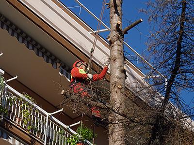 Abbattimenti e potature di alberi di alto fusto vivaio for Vivaio alberi
